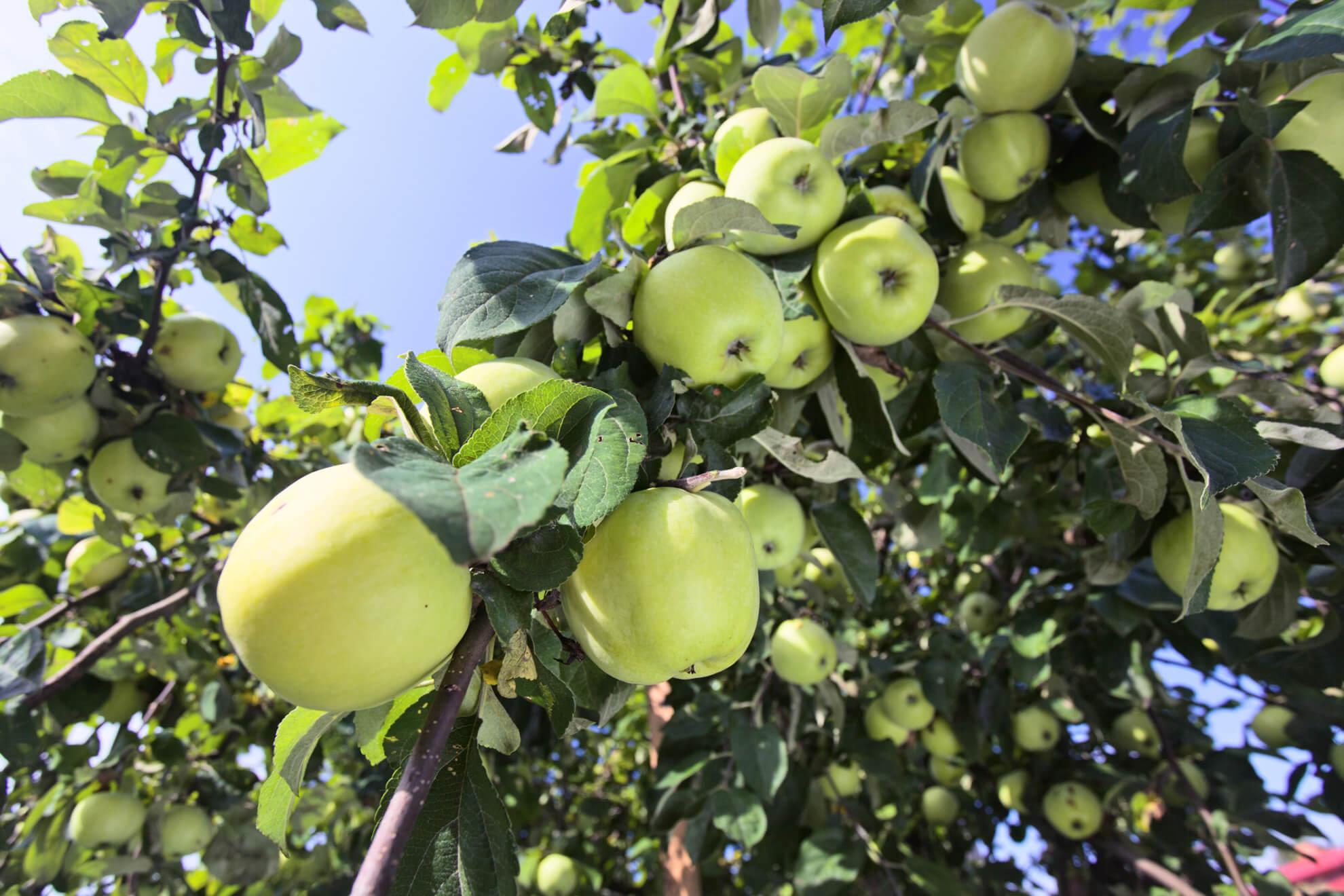 Boskoop Apfelsorte 1