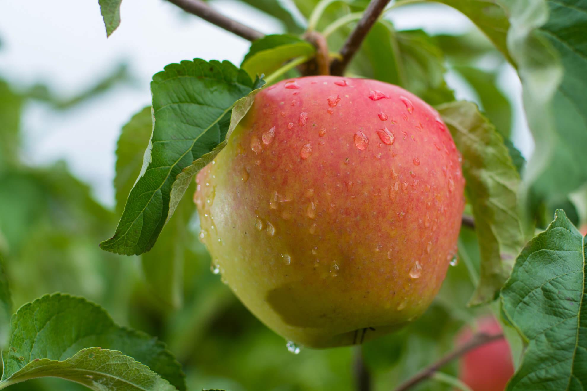 Braeburn Apfelsorte 1