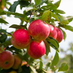 Elstar Äpfel hängen am Baum