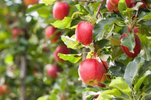 Jonagold Apfelsorte 2