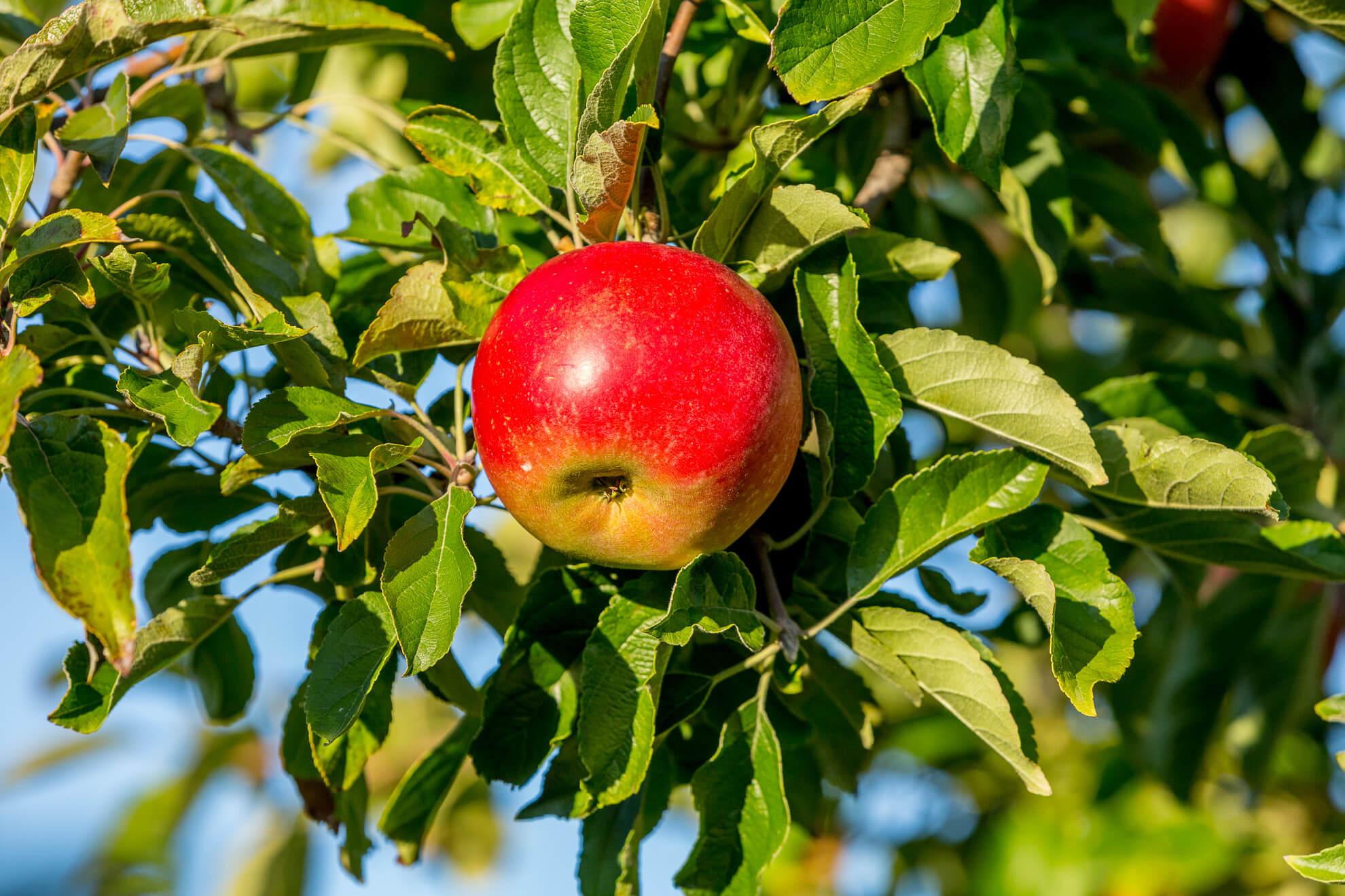 Idared Apfelsorte 1