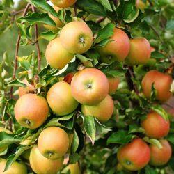 Jonagold Äpfel am Baum