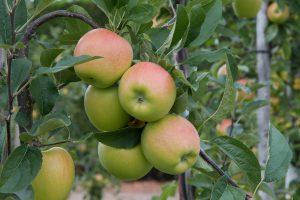 Cox-Orange Apfelsorte 3