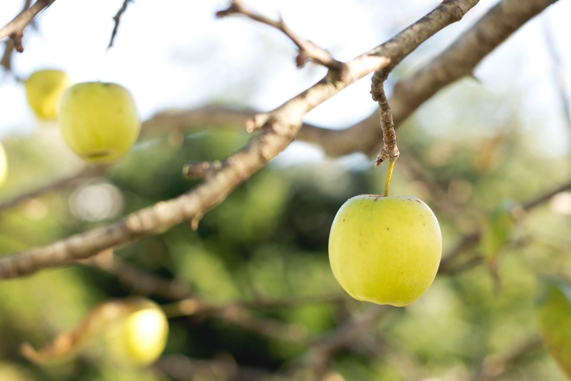 Golden Delicious Apfel 1